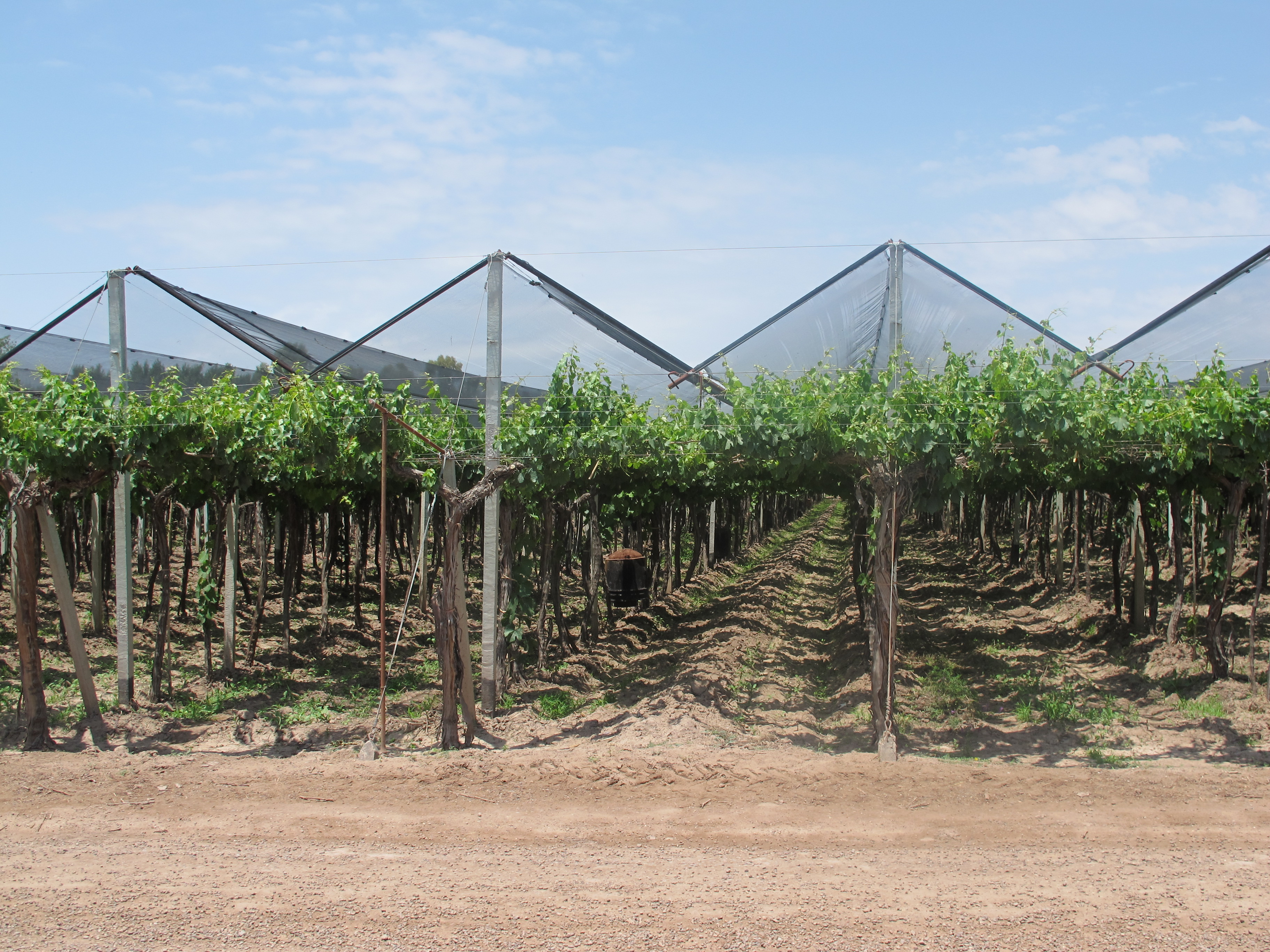 Vineyard protected from hail by nets