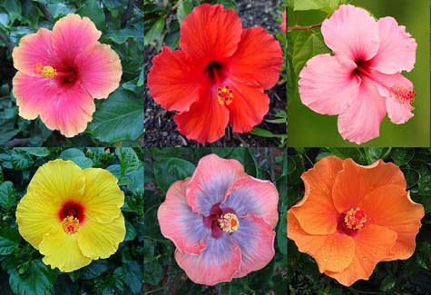 Colourful hibiscus flowers