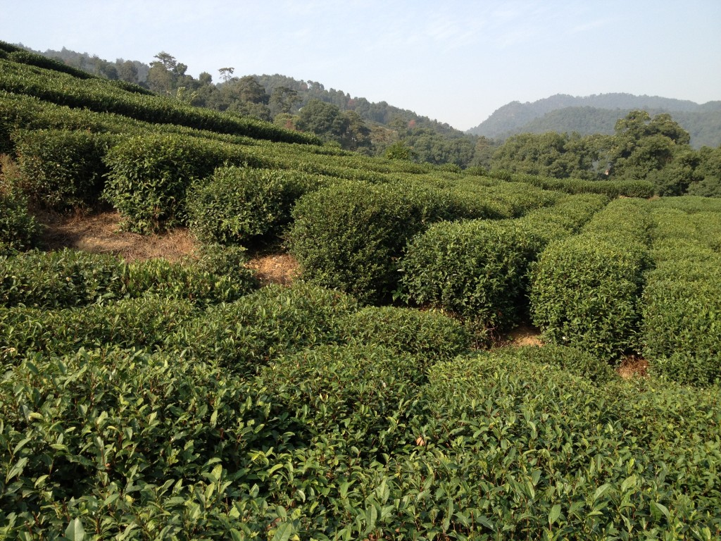 Lung Ching, Long jing or Dragon's Well tea plantation