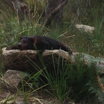 Tasmania: stalking the Tasmanian Devil